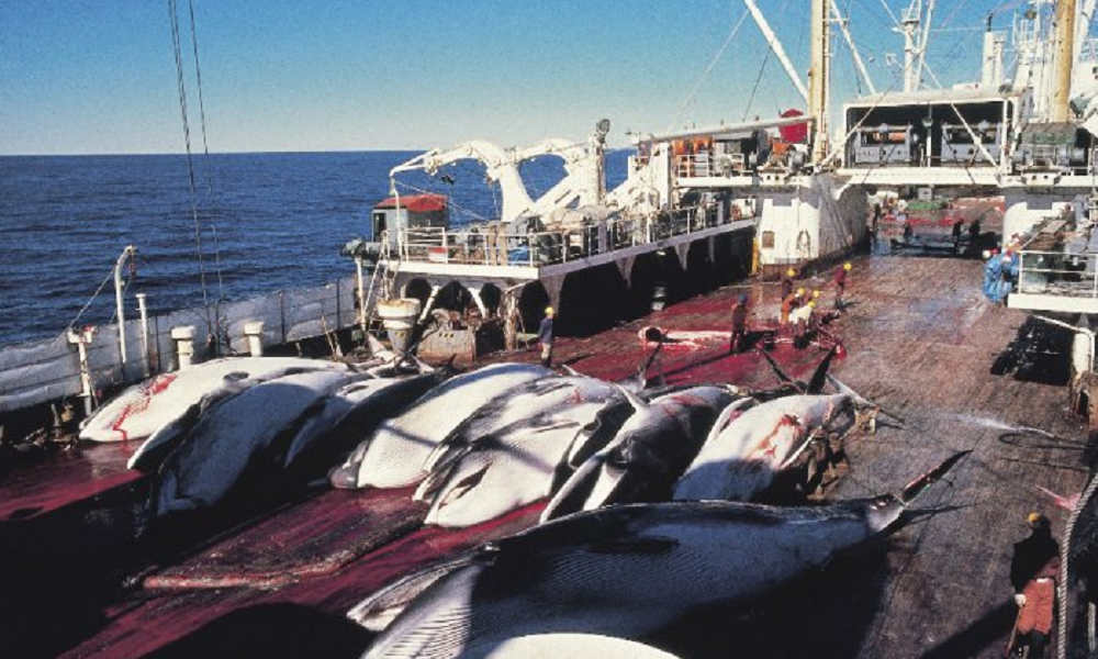 Japan says it will leave International Whaling Commission to resume commercial whaling